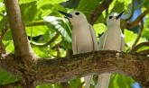 Seychelles, Seychelles terns - Valle de May, Praslin Island